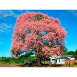 Chorisia Speciosa Pink Paineira Rosa Sementes Pra Muda