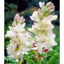 Bulbo Polyanthus Nardo Vara San Jose Blanco Aromático