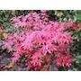 Acer Palmatum (otoña En Rojo) Ramificado