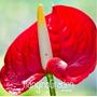 20 Sementes Anturio Vermelho + Frete Grátis