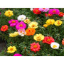 1000 Sementes Flor Onze Horas Portulaca Sortida Frete Grátis