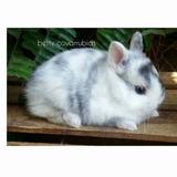 Enano Holandes ( Granja De Conejos Enanitos)