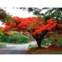 20 Sementes Flamboyant Vermelho Arvore Bonsai Promoção Plant