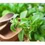 Stevia Rebaudiana 20 Sementes Para Mudas Manual Cultivo