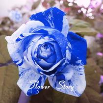 10 Sementes De Rosas Azul Flor Exóticas Pra Fazer Mudas