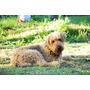 Airedale Terrier Cachorros C/garantia Escrita
