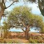 25 Semillas De Algarrobo Blanco,de Brachichito Y Acacia