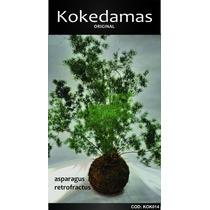 Kokedamas Oringinal Asparagus Retrofractus Kok Arte Natural