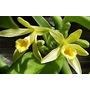 Muda Forte Orquidea Baunilha Estaca De 30cm Ou + Com Raizes