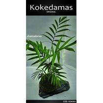 Kokedamas Original - Chamadorea - Kok Arte Natural