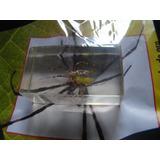 Araña De Seda De Oro. Coleccion Insectos. Nuevo