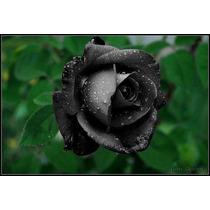 20 Semillas Rosa Negra Exoticas Y Raras + 25 De Flores