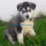 Preciosa Cachorrita Husky Siberiano Macho Ojos Azules