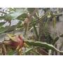 Arbol Frutal Exotico Pitahaya Pitaya Cactus Facil Enraizan!!