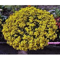 1800 Sementes Da Flor Alyssum Amarelo Perfume De Mel Alisson