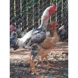 Ovos Galados Galinha Indio Gigante - Compre 12 Leve 15