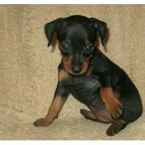 Cachorro pinscher 0 a venda em campinas