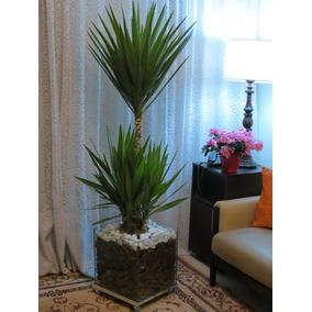 Palmeira Yucca No Cachepot De Vidro 35x35x35cm Com Rodinhas