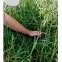 1 Kg De Sementes De Tifton-9 (paspalum Nutatum)