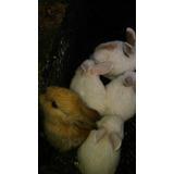 Conejos Holand Lop