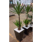 Planta Yucca Cachepot De Vidro Trapézio 40x30x20 Cm