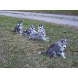 Huskys Siberianos Ojos Azules
