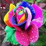 50 Sementes Flor Rosa Arco -iris Exóticas Raras/p Mudas