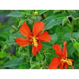 Pavonia Misionum Arbusto Autóctono Flor Roja