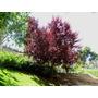 Ciruela Roja Árbol , Ciruelo - Cerezo , Prunus Cerasifera