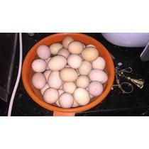 Ovos Galado Gigante Negro, Pescoço Pelado E Caipirão