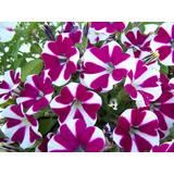 Semillas Flor Petunia Hibrida Enana Variada Flores
