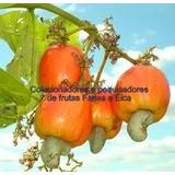 Muda Caju Anão Vermelho De Produção Precoce Ccp76