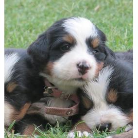 Boyeros De Berna- Cachorros Disponibles.padre Importado.
