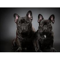 Bulldog Francés Cachorros F.c.a Excelentes Machos