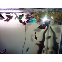 Peixe Beta Fêmea Coloridas Pacote Atacado Com 20 Peixes