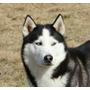 Husky Siberiano Semental Pedigree