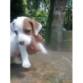 Cachorros Jack Russell Terrier Con F.c.a
