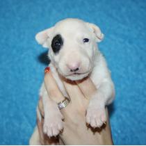 Bull Terrier Filhotes - Bull Terrier Canil - Qualidade !