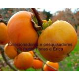 Muda De Caqui Fuiú Enxertada Doce A Fruta De Deus
