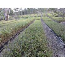 Bambu Otate Vara Y Planta Para Siembra O Palapas