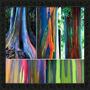 Frete Grátis* 600 Semente Eucalipto Arco Iris* Frete Grátis*