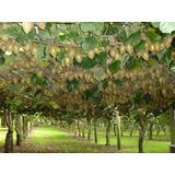 Plantas De Kiwi. Vivero Sueños Del Alma