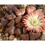 Lithops :cactus Piedra Pleiospilo Titanopsis Faucaria