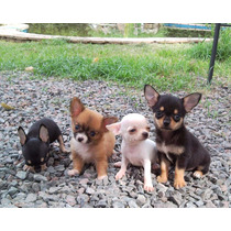 Chihuahuas Hembras Ped. Fca!!! M I R A L O S !!!!