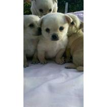 Chihuahuas Cachorros Machos