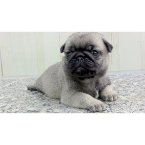 Pug - Filhotes Top Macho - Pedigree Excepcional