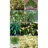 Ficus Disciplinario En Semillas, Plantines, Plantons Y Arbol