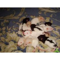 Rato De Laboratório / Twister / Mercol. Filhotes Mansinhos!!