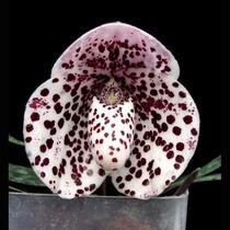 10 Sementes De Orquídeas Sapatinho Enfeite Seu Jardim