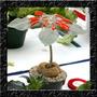 Sinningia Leucotricha Rainha Do Abismo Sementes Flor P/ Muda